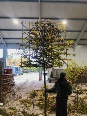 freshly pleached tree on a bamboo frame