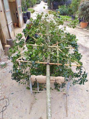 training mature holly illex tree