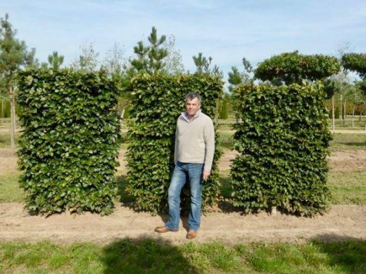 low pleached trees freshly planted